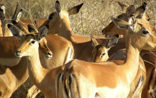 Impala_closeups.jpg