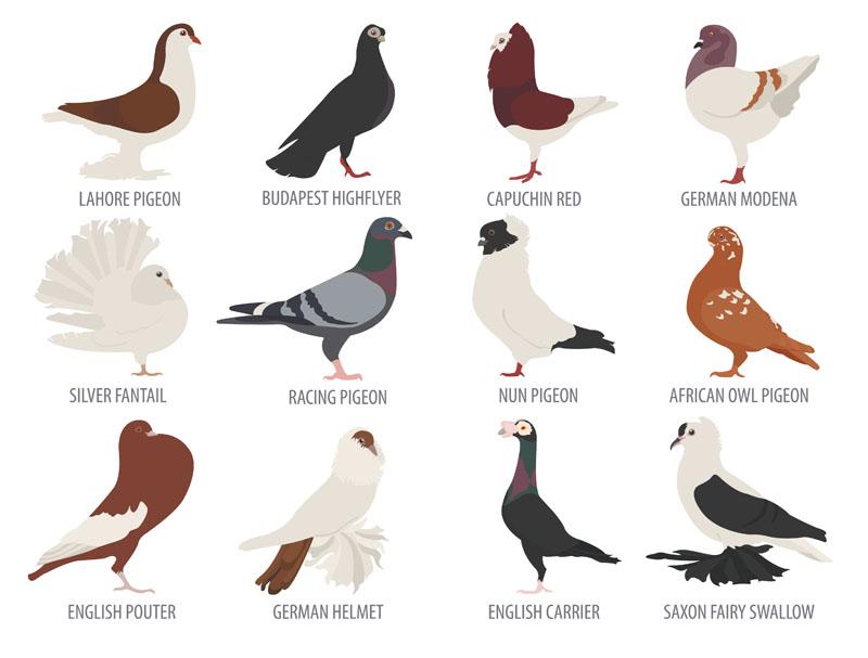 types of pigeons