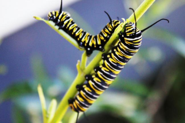 monarch butterfly larva caterpillar