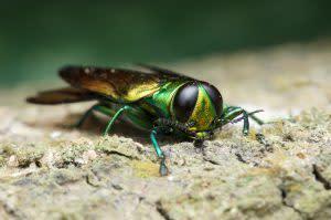 Emerald Ash Borer - Shutterstock