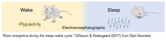 dinuzzo_nedergaard_mice.png