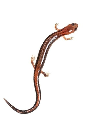 Red-backed Salamander - Nature Picture Library - DSC-NT0818 02