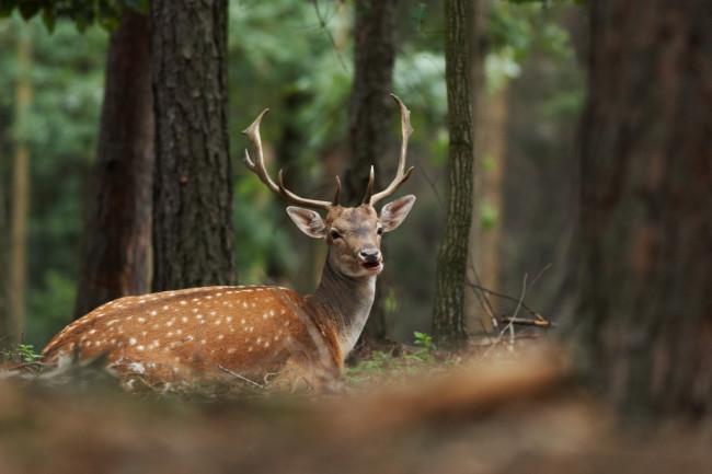 Fallow_Deer-1024x683.jpg