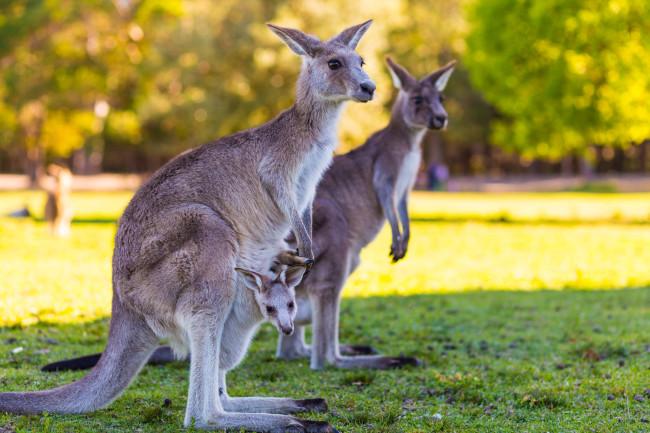 Kangaroo - Shutterstock