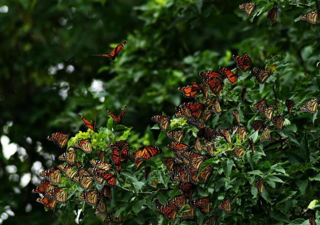 monarch migration plant