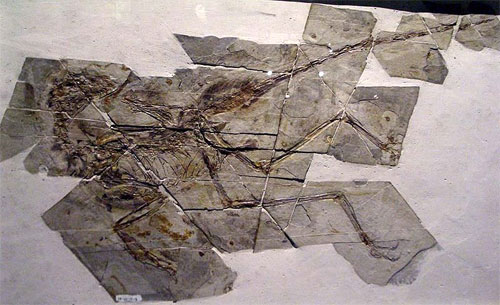 Sinornithosaurus_skeleton.jpg