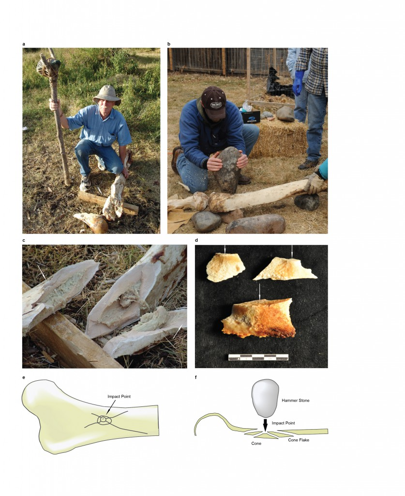 Research published today in Nature included not only descriptions of the bones and artifacts associated with the potential butchering site, but also multimedia information on how the team replicated the damage on modern elephant bones in Tanzania, using tools they believe the hominins might have had. (Credit Kate Johnson, San Diego Natural History Museum)