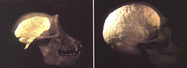 Human_chimp_brain.jpg