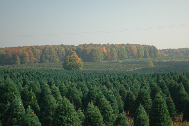Scotch pines Christmas tree farm - CCBY