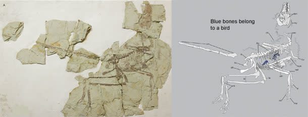 Microraptor_fossil.jpg