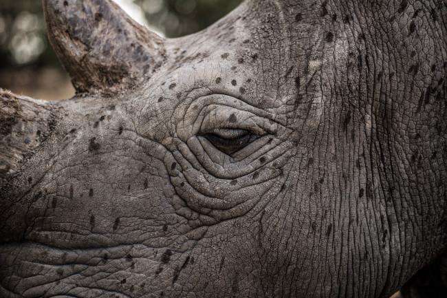 Najin, northern white rhino, napping - Justin Mott