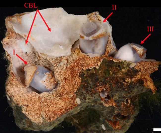 Limestone Fragment shipworm - Proc. R. Soc. B.