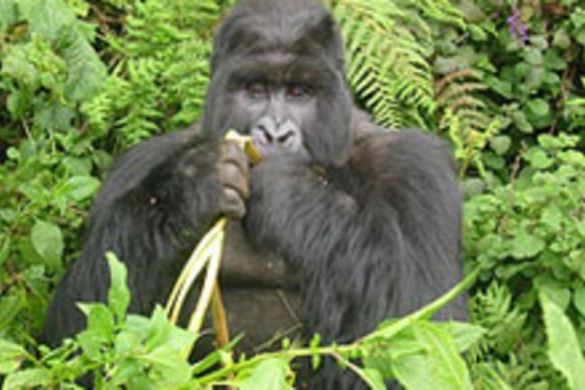 gorillaweb.jpg