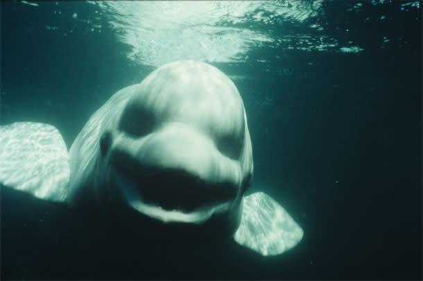 NOC-the-Beluga.jpg