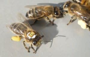 honeybee-e1333038348130.jpg