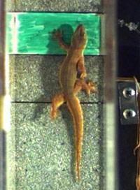 Gecko_climbing.jpg