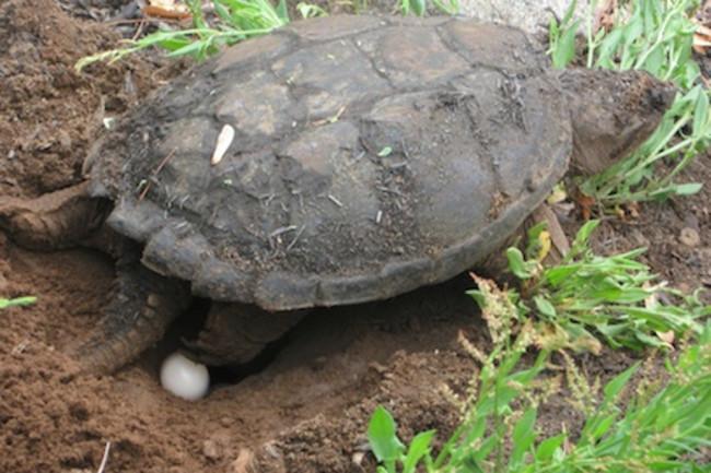 Laying-turtle440.jpg