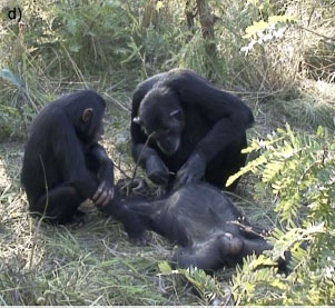Chimps Know Death When They See It