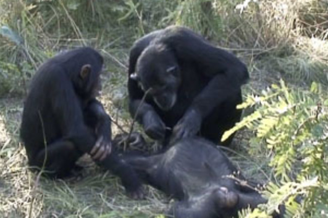 Noel, a chimpanzee, used a grass stem to pick debris from the teeth of a dead chimp in a sanctuary in Zambia.