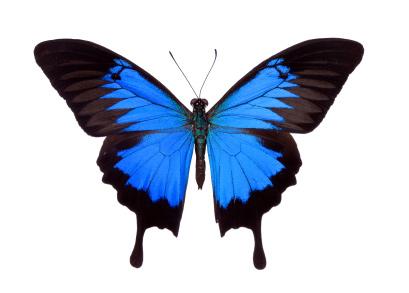 swallowtailb.jpg
