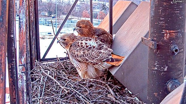 bird cams lab red tailed hawks