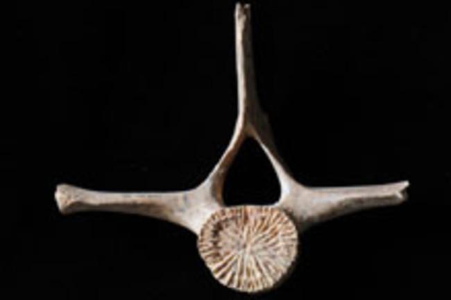dolphin-bone