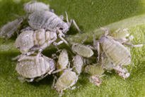cabbage_aphid_non_winged_ad.jpg