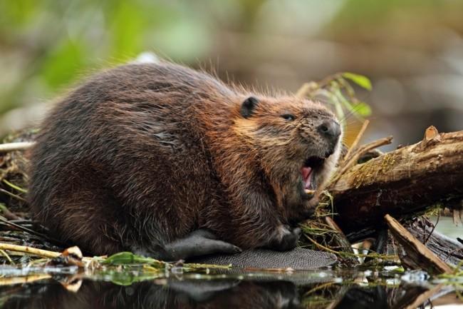 Beaver - Shutterstock
