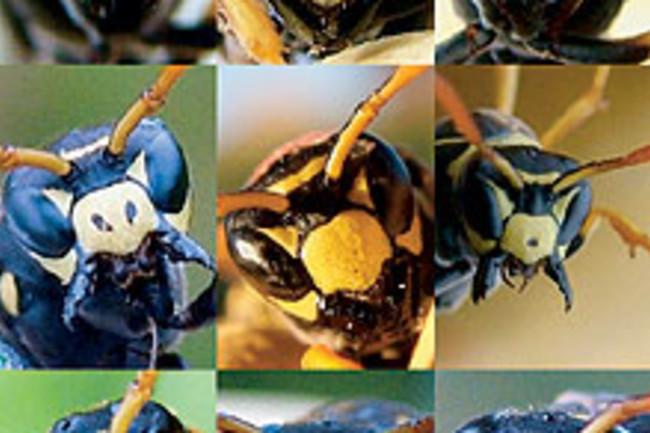 rd-wasps.jpg