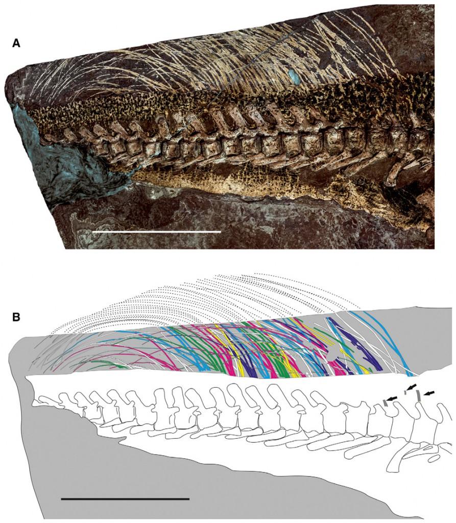 Psittacosaurus-tail-893x1024.jpg