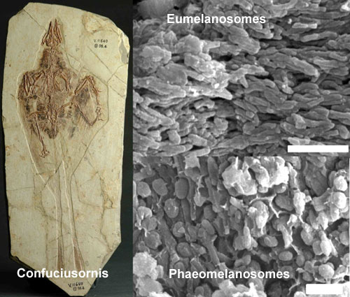 Confuciusornis_melanosomes.jpg