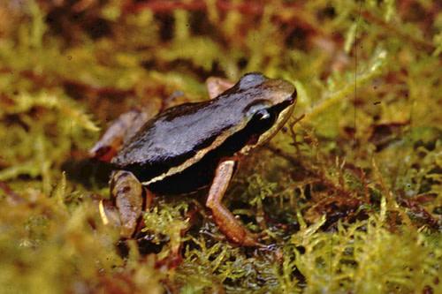 El Laurel Rocket Frog - Felipe Campos