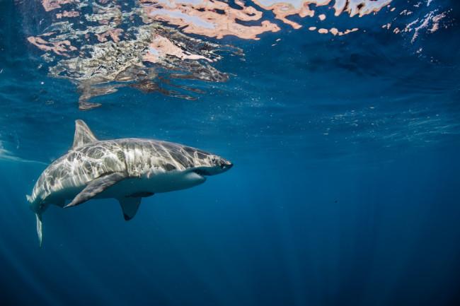 shutterstock shark 229080022