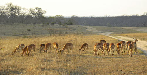 Impala_sunset.jpg