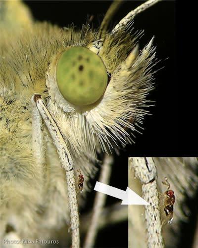 Trichogramma_butterfly.jpg
