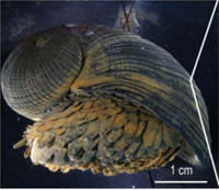 Scalyfoot-snail.jpg