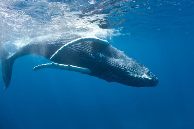 Humpback Swimming