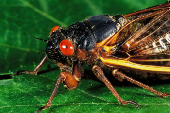 The Cicadas Are Coming