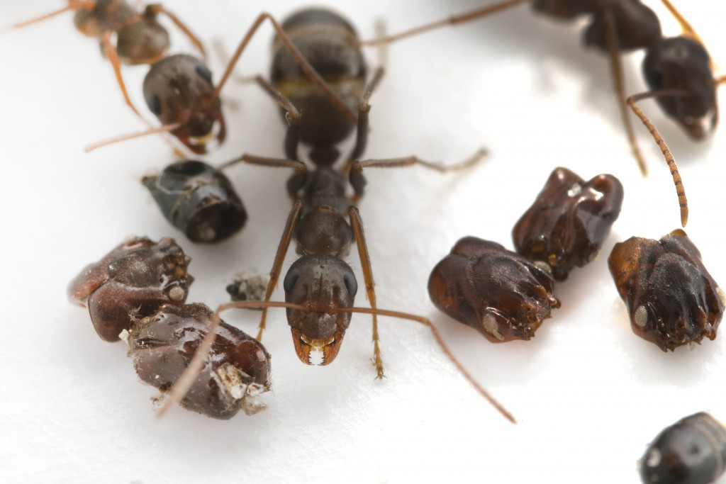 They're Ants That Collect Skulls. Now We Know How And Why.