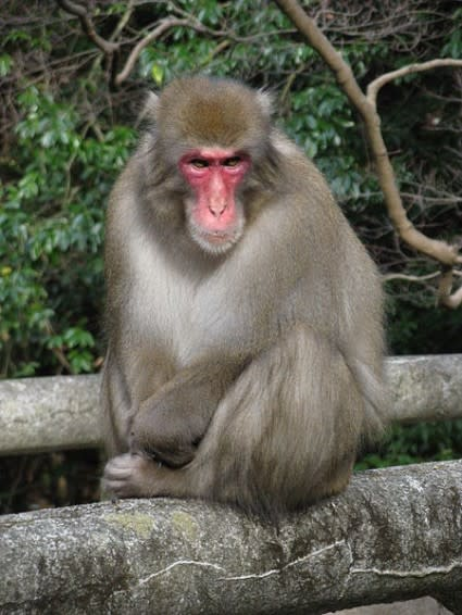 Japanese_monkey-425x566.jpg
