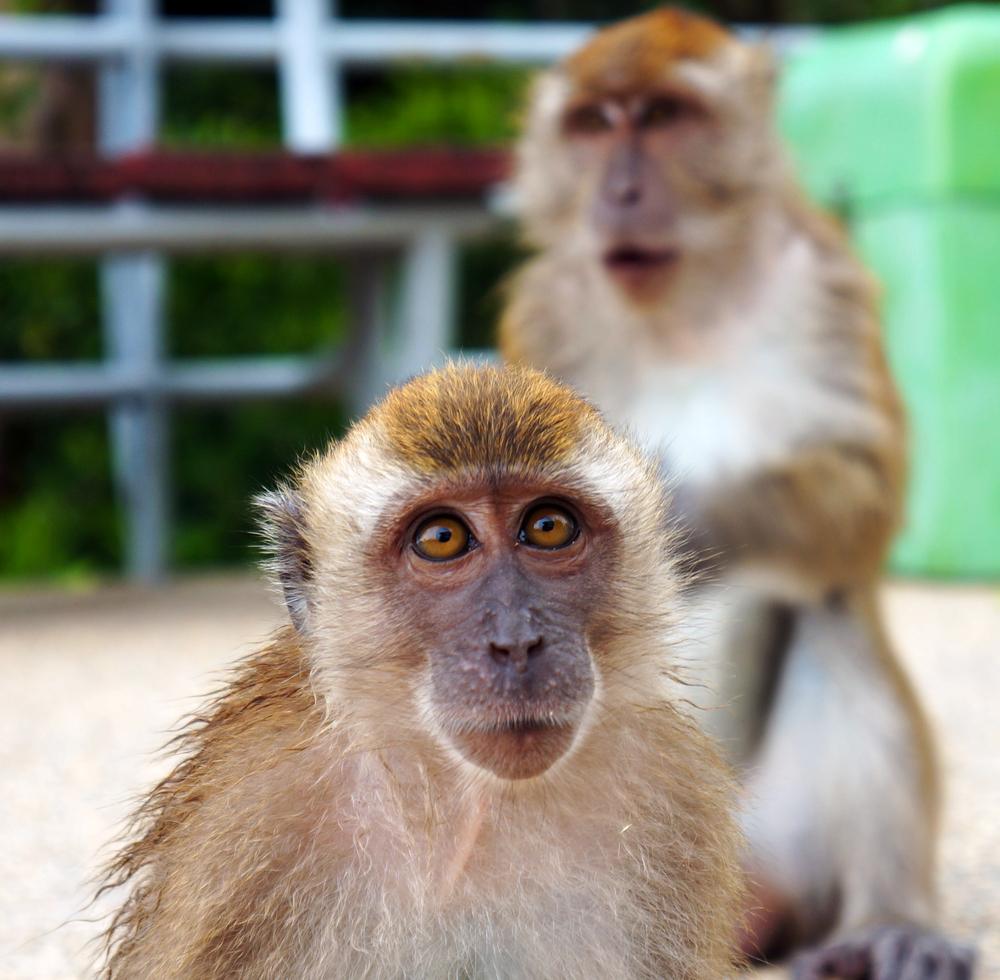 rhesus-macaques.jpg