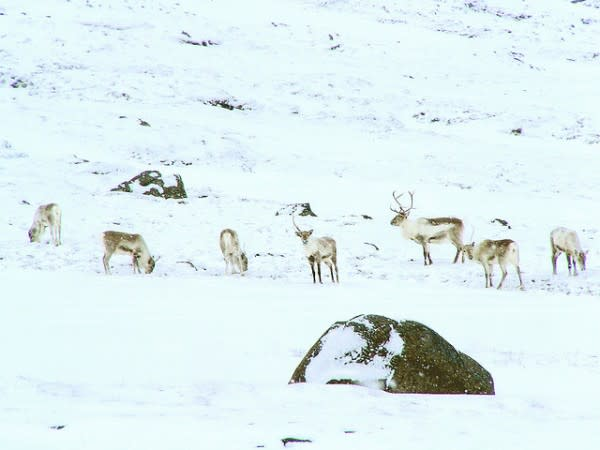 reindeer-e1313426466782.jpg