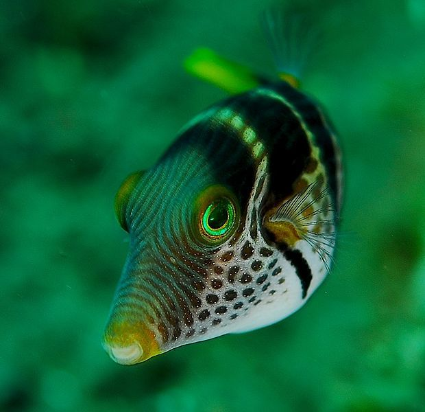 620px-Canthigaster_valentini_1_zps2a99f979.jpg