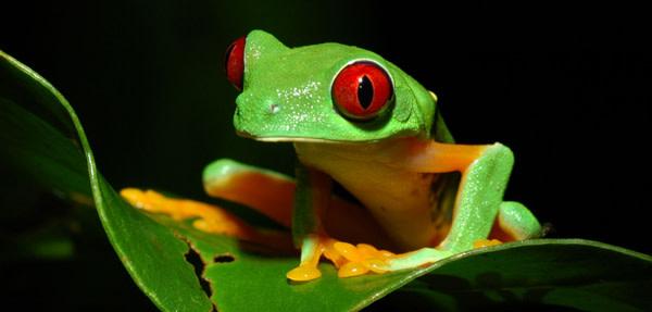 Redeyed_treefrog.jpg