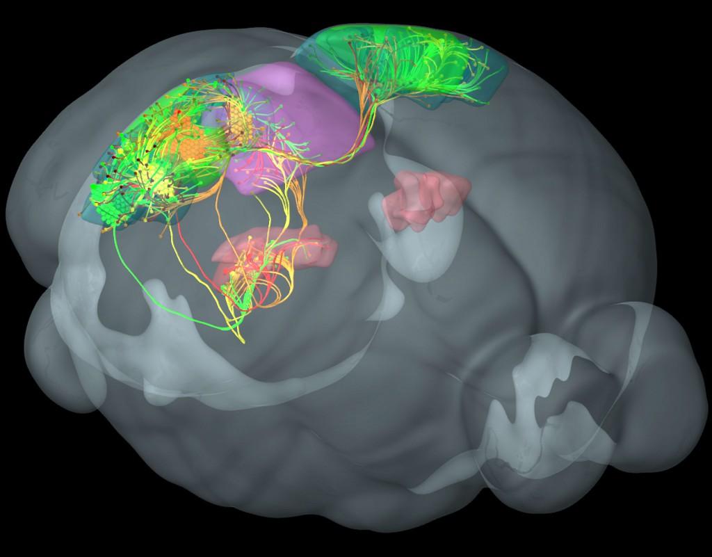 mouse-brain-3--1024x801.jpg