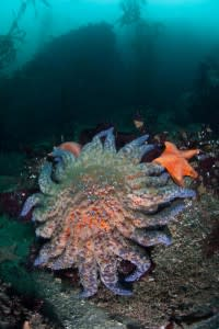 sunflower sea star in monterey, california