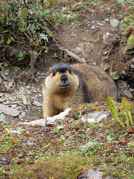 450px-Himalayan Marmot at Tshophu Lake Bhutan 091007 a
