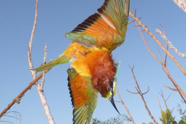 Cyprus-Bee-eater-on-limesti.jpg