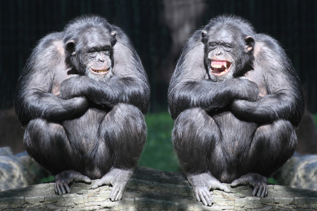 chimps-smiling.jpg