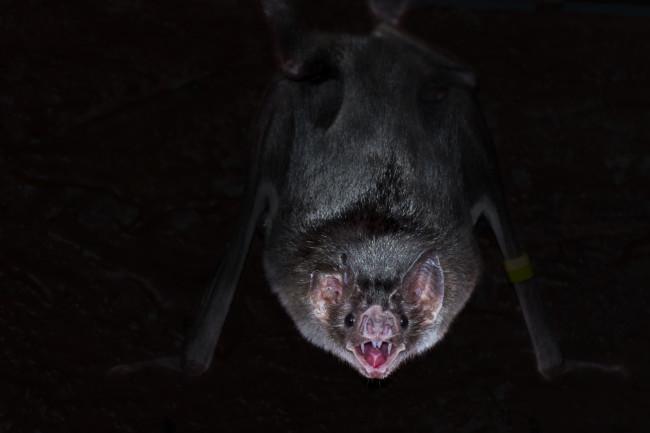 Vampire bat, Desmodus rotundus - Shutterstock